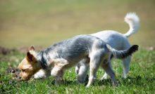 Túlsúlyos kutya nem boldog kutya – Westie Rescue Hungary