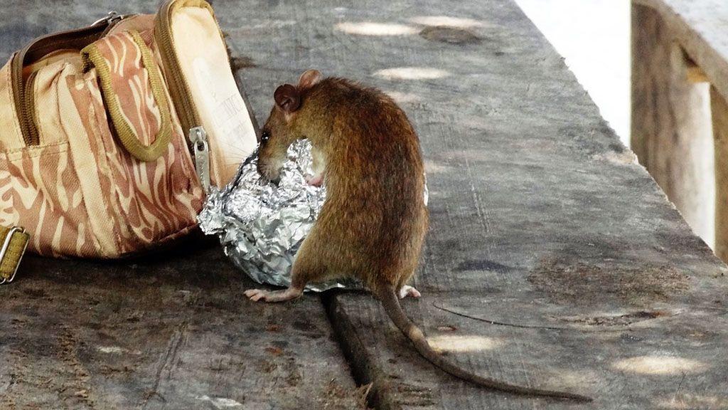 hogy a patkány lefogy