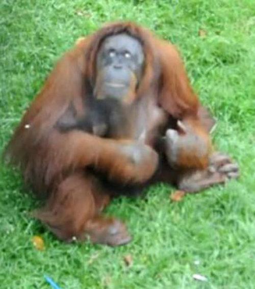 Tanítsd a majom, hogy lefogy