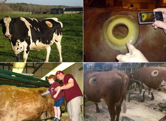 miért veszítenek a tehenek? elma fogyás npr
